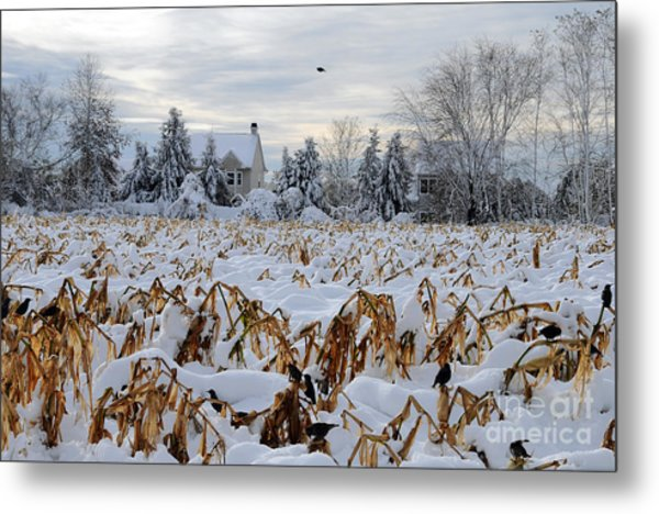 Corn And Crows Metal Print