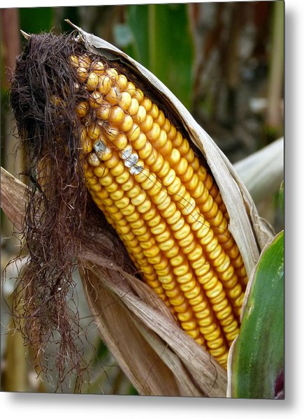 Metal Print featuring the photograph Corn Cob Dry by Jeff Lowe