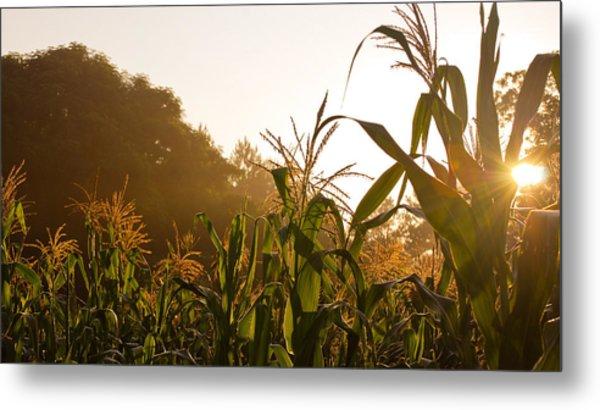 Corn In The Sunlight Metal Print by Cristin Sirbu
