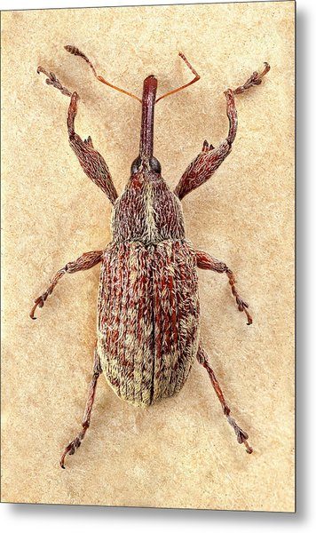 Cotton Boll Weevil Metal Print