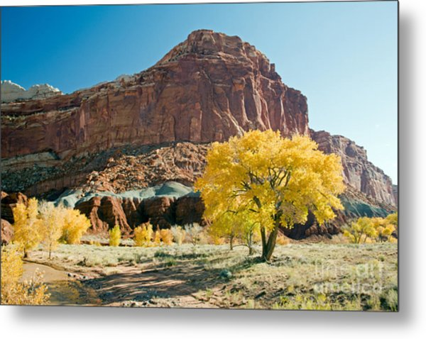 Cottonwoods In Fall The Castlecapitol Reef National Park Metal Print