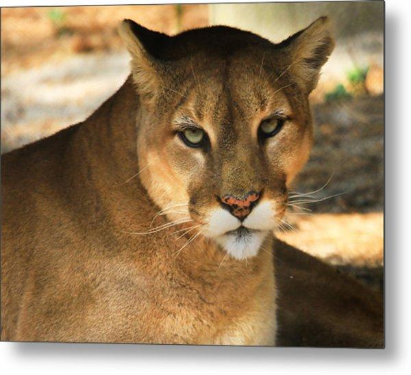 Cougar II Metal Print