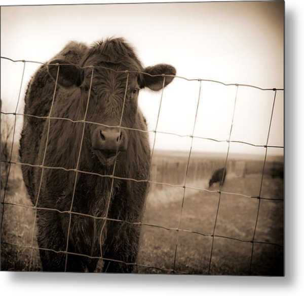 Cow At Fence In Sepia Metal Print