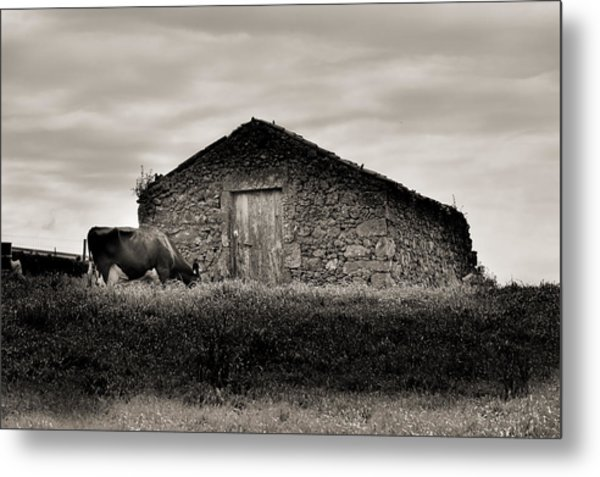 Cow Grazes At Rustic Barn  Metal Print