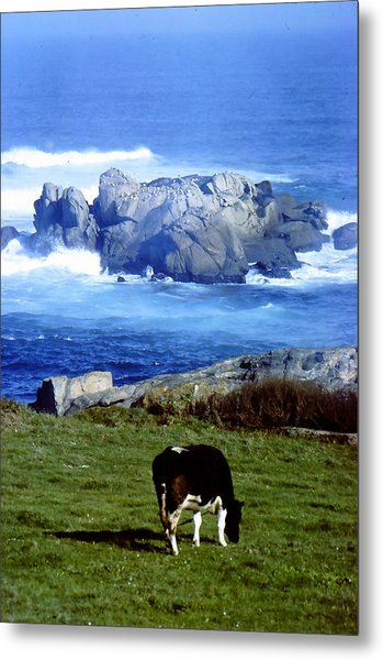 Cow Grazing By The Ocean Metal Print