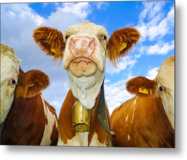 Cow Looking At You - Funny Animal Picture Metal Print