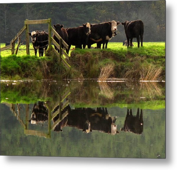 Cow Reflections Metal Print