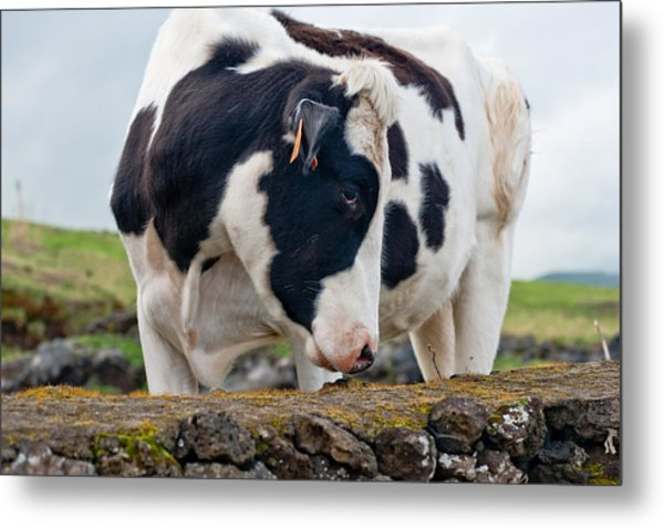 Cow With Head Turned Metal Print