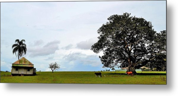 Cows And Shack - Australia Metal Print