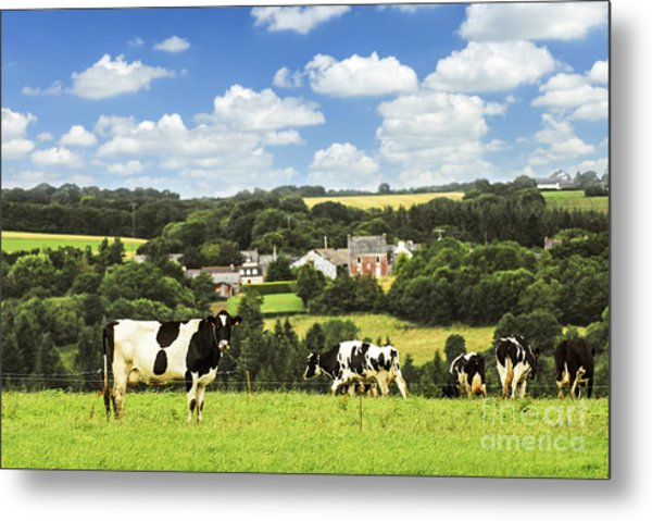 Cows In A Pasture In Brittany Metal Print