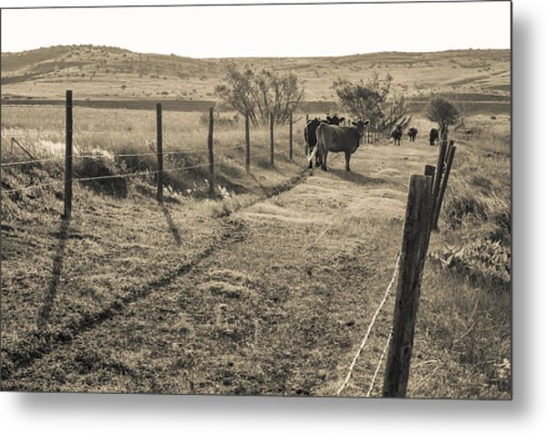 Cows In The Lane Metal Print