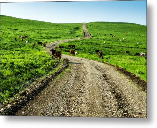 Cows On The Road Metal Print