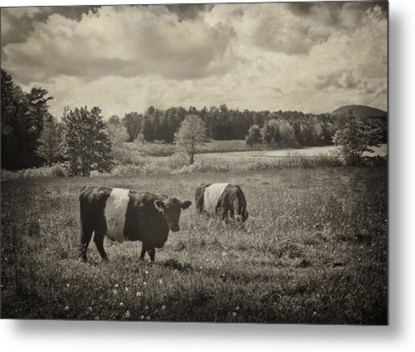 Cows Rockport Maine Metal Print