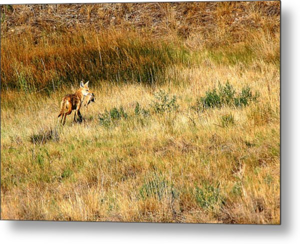 Coyote Catch Metal Print by Rebecca Adams