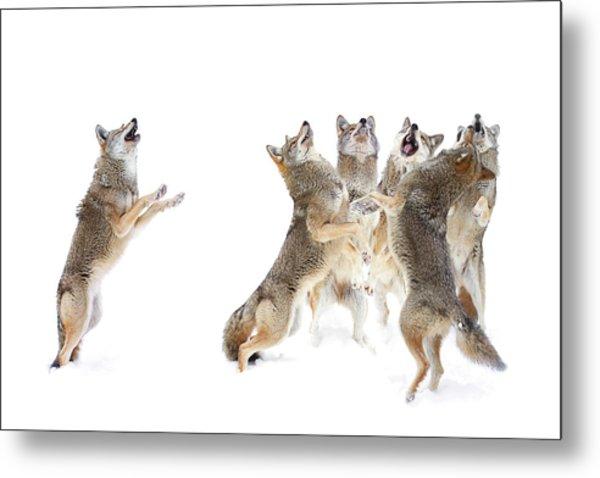 Coyote Choir Metal Print by Jim Cumming