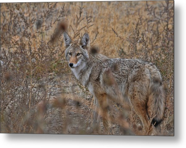 Metal Print featuring the photograph Coyote by David Armstrong