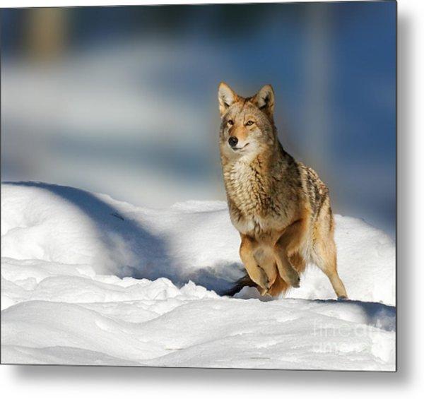 Coyote Go Go Go Metal Print