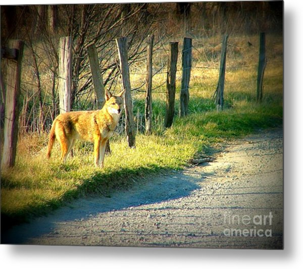 Coyote In Cades Cove Metal Print