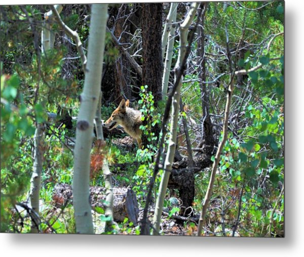 Coyote In Estes Park Metal Print
