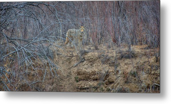 Coyote In The Brush Metal Print