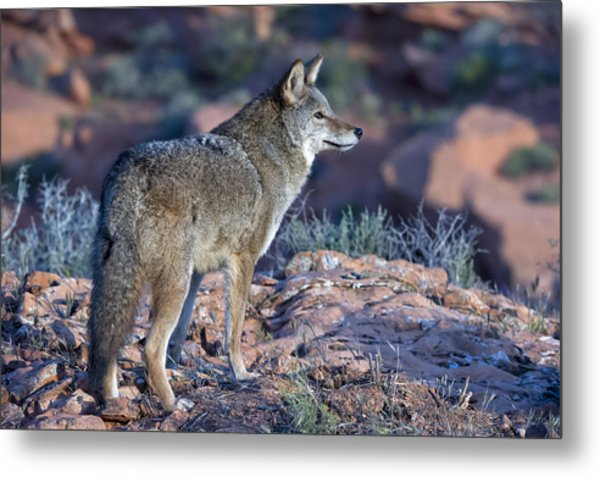 Coyote In The Southwest Us Metal Print by Kathleen Reeder Wildlife Photography