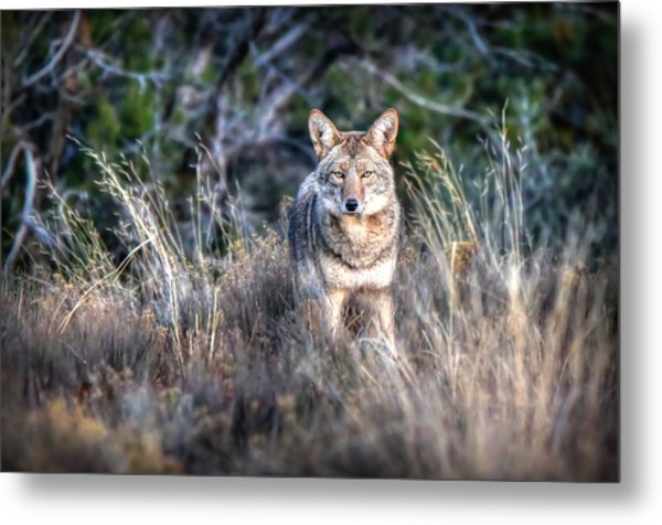 Coyote Stare Down Metal Print