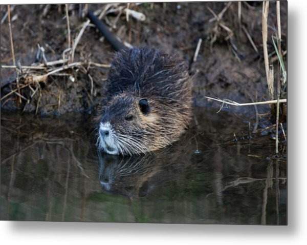 Coypu Metal Print by Photostock-israel