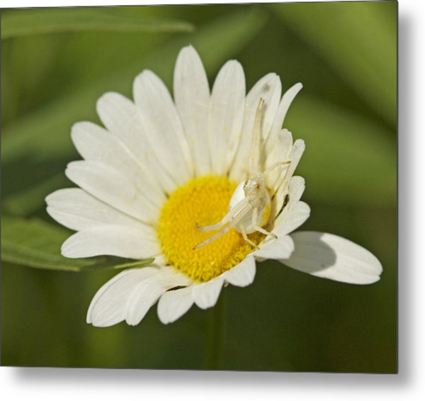 Crab Spider Metal Print by Brian Magnier