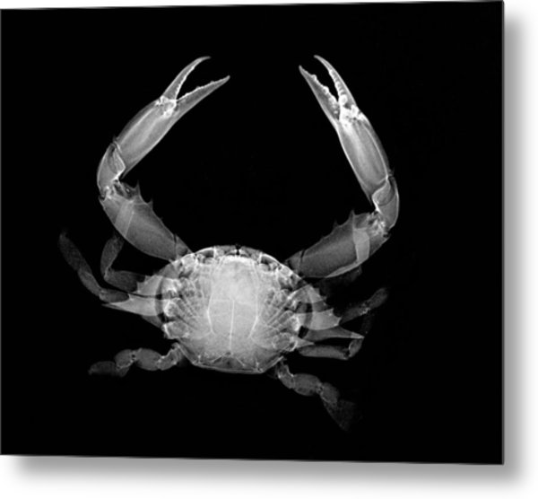 Crab Metal Print by William A Conklin