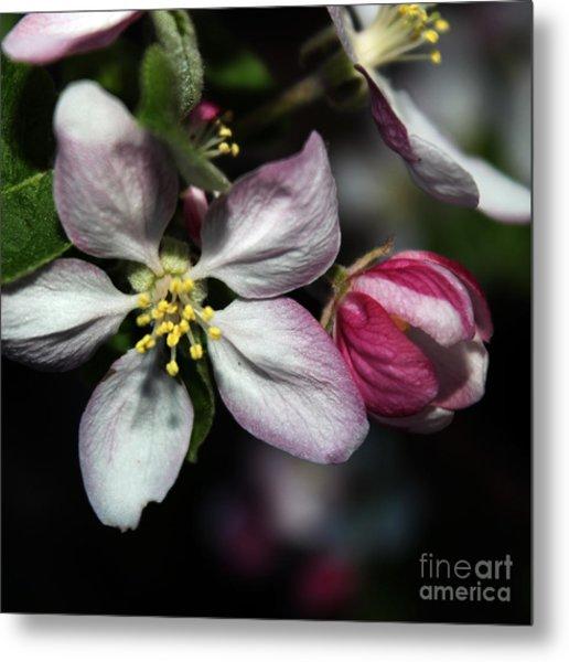 Crabapple Blossom Metal Print