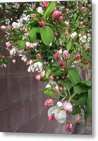 Crabapple Blossoms And Wall Metal Print