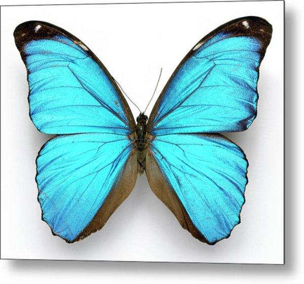 Cramer's Blue Butterfly Metal Print