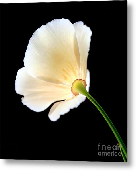 Cream Poppy Glow Metal Print
