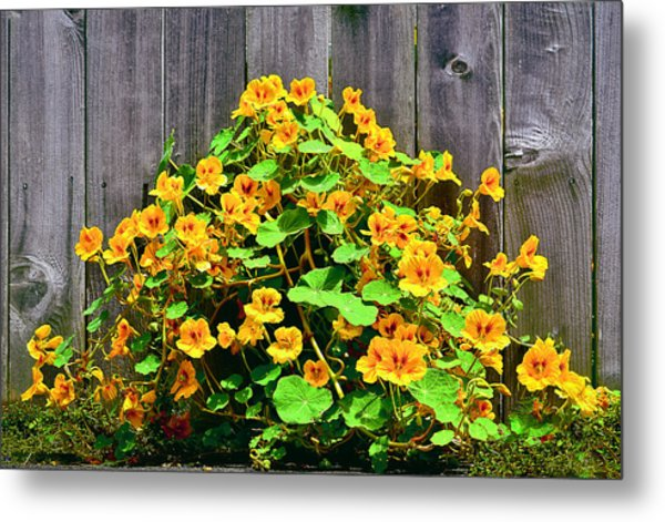 Creeping Hibiscus Metal Print