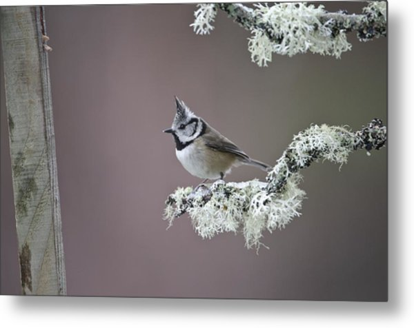 Crested Tit Metal Print by Science Photo Library