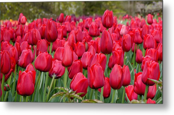 Crimson Tulips  Metal Print