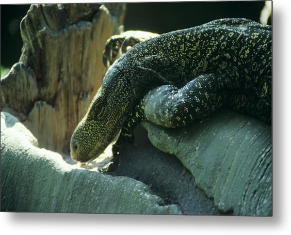 Crocodile Monitor Lizard Metal Print by Sally Mccrae Kuyper/science Photo Library
