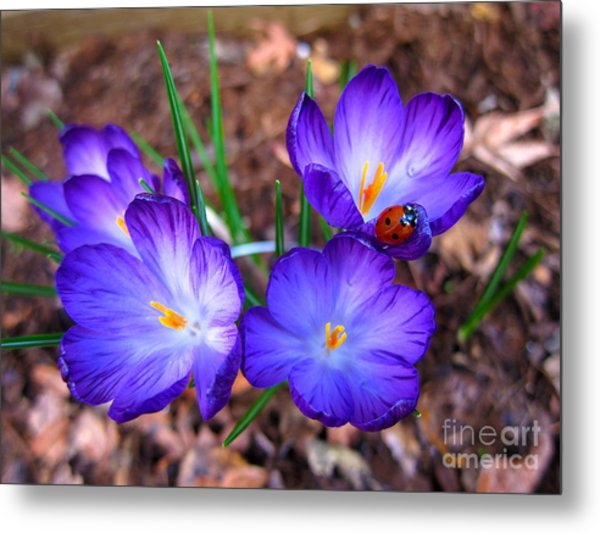 Crocus Flowers And Ladybug Metal Print