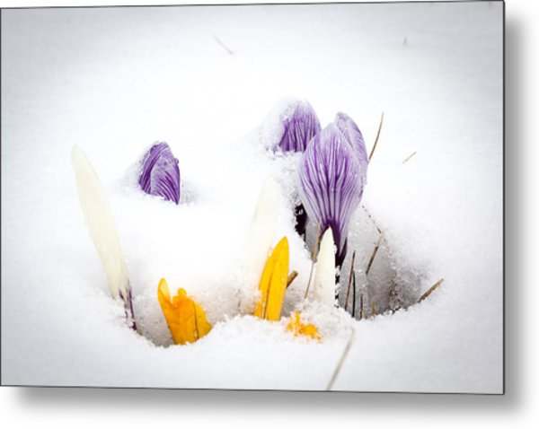 Crocus In The Snow Metal Print