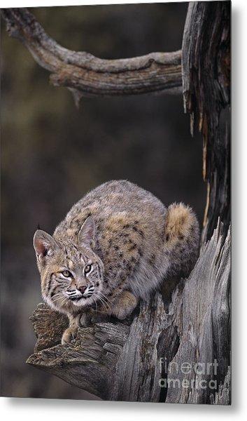 Crouching Bobcat Montana Wildlife Metal Print