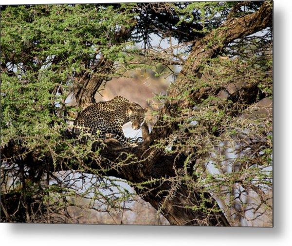Crouching Leopard Metal Print