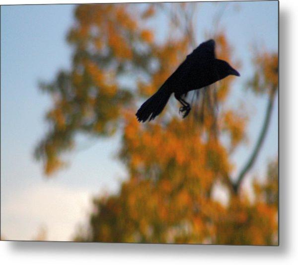 Crow In Flight 3 Metal Print