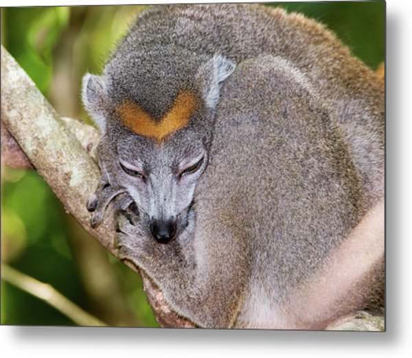 Crowned Lemur Female Metal Print