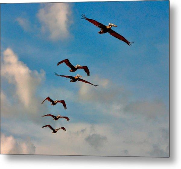 Cruising Pelicans. Melbourne Shores. Metal Print