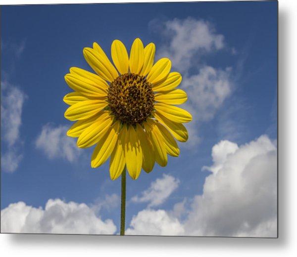 Cucumberleaf Sunflower Metal Print