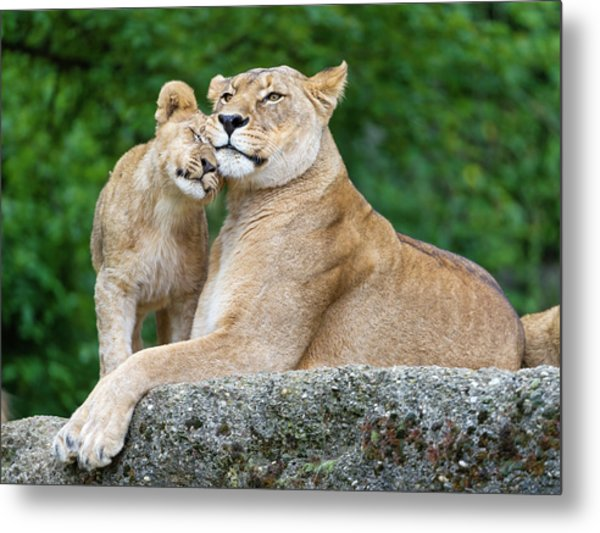 Cuddling With Mom Metal Print by Picture By Tambako The Jaguar