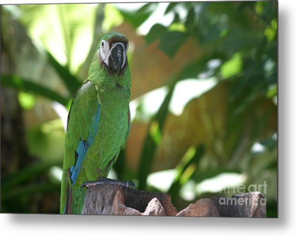 Curacao Parrot Metal Print