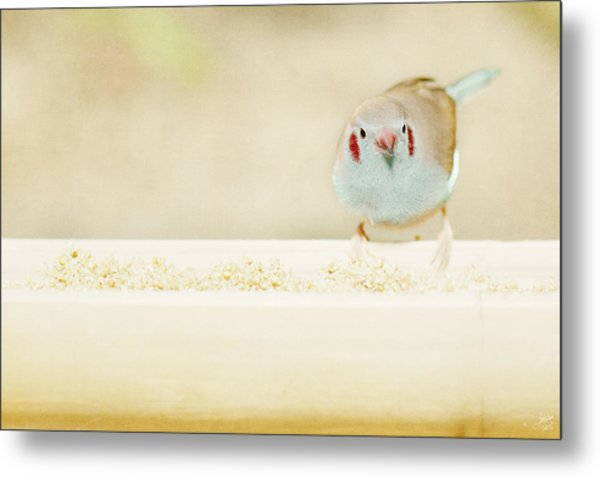 Curious Cordon Bleu Finch  Metal Print