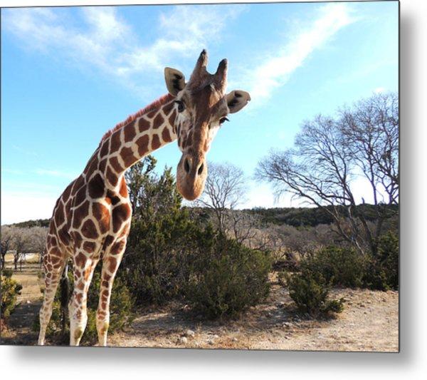 Curious Giraffe At Fossil Rim Wildlife Center Metal Print