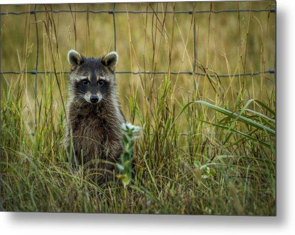 Curious Raccoon Metal Print